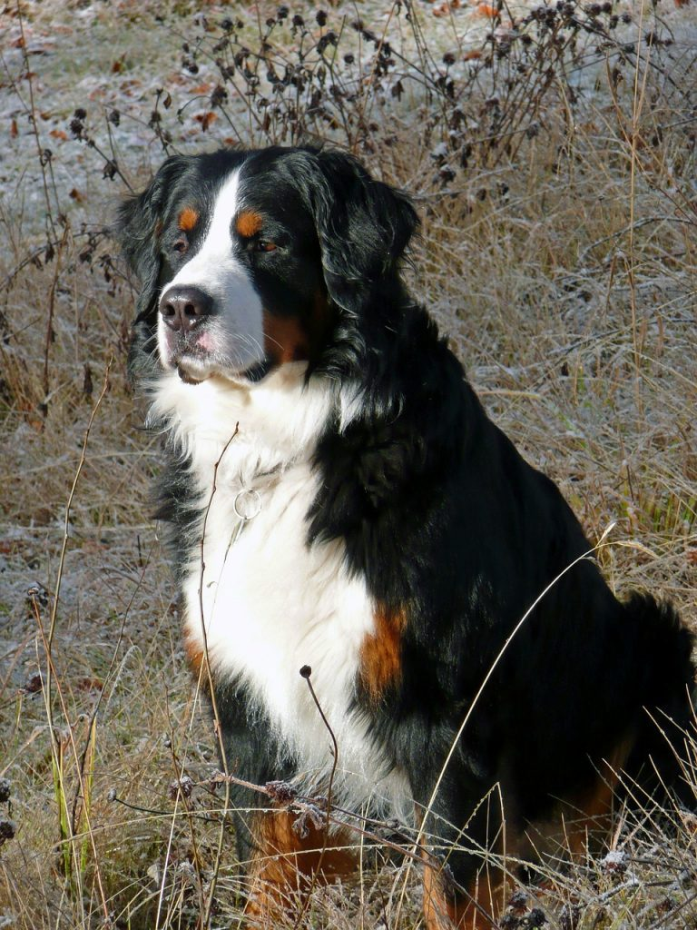 bernese-mountain-dog-51473_1280